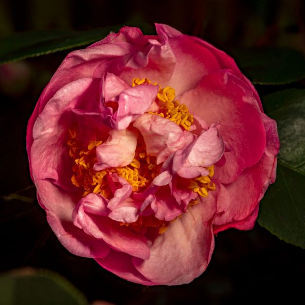 Petersen_camellia_study-1631_sq_1600