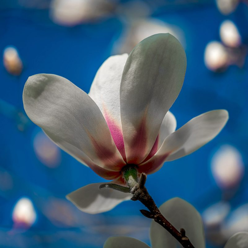 Petersen_magnolia1086_sq_br_web