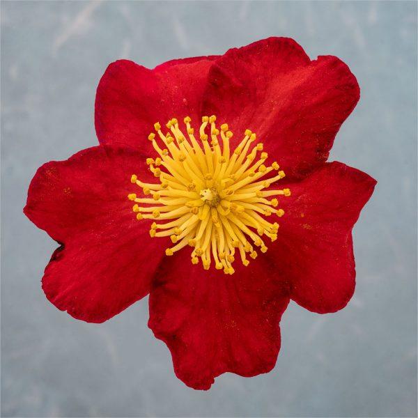 camelia_red-1108_square_1600