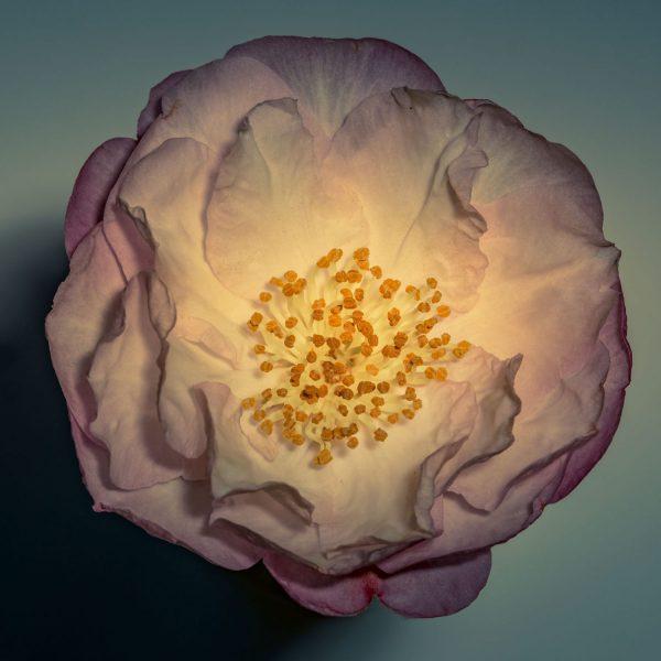 camellia_aquabkd-0874_sq_1600