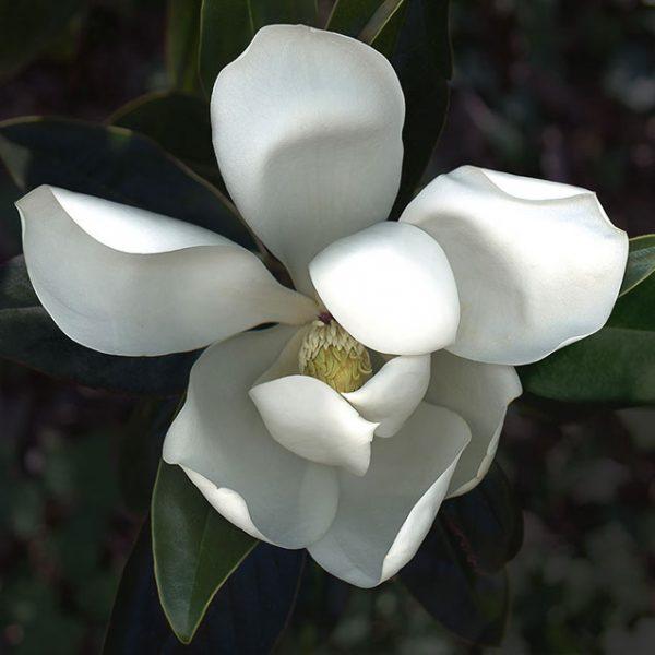 petersen_magnolia