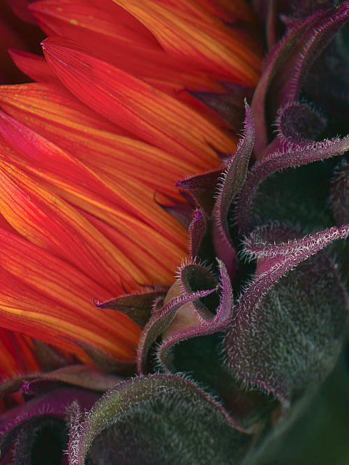 petersen_sunflower2