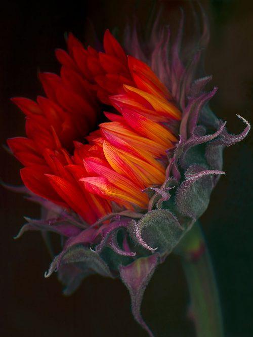 petersen_sunflower3