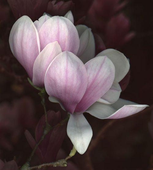 petersen_tuliptree