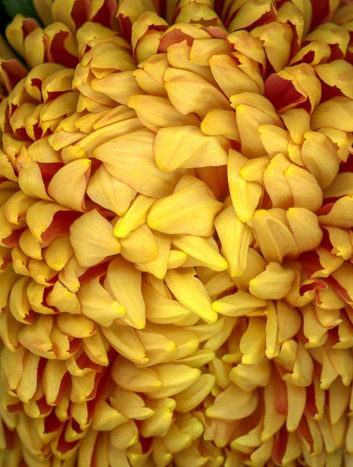 petersen_yellow